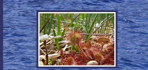 A photograph of a sundew plant on the Mull of Kintyre