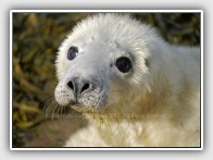 Common Seal Pup, Phoca vitulina