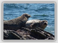 Common Seals, Phoca vitulina, basking on Sanda Island