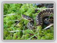 The shy European adder, Vipera berus