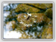 Wolf Spider walking on water